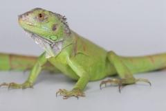 iguana_gallery_large